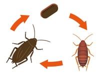 ゴキブリの一生
